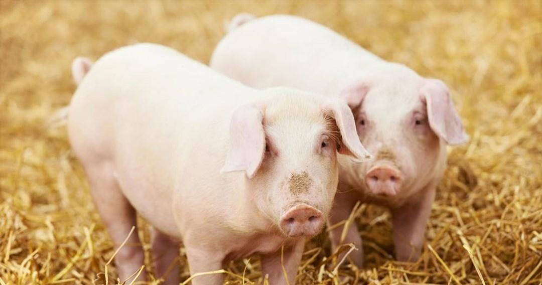 Τα γουρούνια μπορούν να παίζουν βιντεοπαιχνίδια με τις μύτες τους