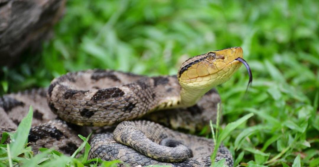 Τα φίδια είχαν σύμμαχο τον αστεροειδή που εξαφάνισε τους δεινοσαύρους